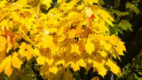 Leaves of Norway Maple, Acer platanoides, in autumn sunlight background, selective focus, shallow DOF. Leaves of Norway Maple or Acer platanoides in autumn royalty free stock images