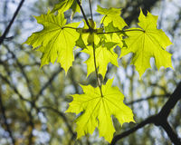Leaves of norway maple tree in morning sunlight, shallow DOF, selective focus. Leaves of norway maple tree in morning sunlight, selective focus, shallow DOF Stock Image
