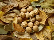 Leaves and nuts Royalty Free Stock Image