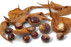 Leaves, nuts and shells of horse chestnuts  Stock Image