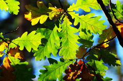 Leaves of oak Royalty Free Stock Photo