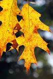 Leaves of an oak. Autumn yellow leaves of an oak close up, brightly shined by the sun from a underside stock photos