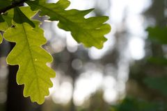 Leaves of oak. At wood Royalty Free Stock Photos