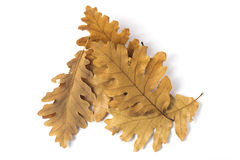 Leaves of oak Stock Photography