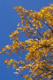Leaves of an oak. Colourful oak branch on a background of the shrill-dark blue sky Stock Photos