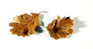 Leaves of oak. Two leaves oak sand banks Stock Image
