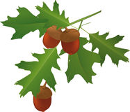 Leaves of an oak and acorns. Plant seed tree Stock Photography