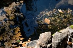 Leaves of an oak and acorns is in water Stock Photo