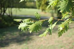 Leaves of oak on branch stock photo