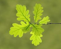Leaves of oak tree Stock Photography