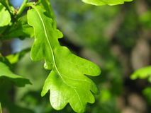 Leaves of oak tree Royalty Free Stock Photography