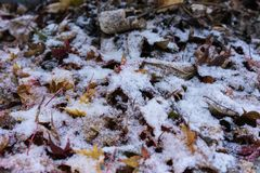 Leaves Of Japanese Maple Tree Covered In Snow Royalty Free Stock Images