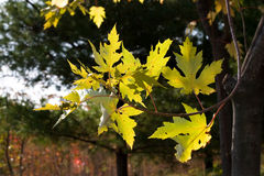Free Leaves Of Maple During Fall Royalty Free Stock Photos - 3688808