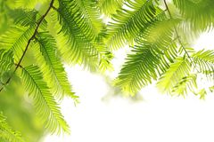 Leaves Of Metasequoia Trees Royalty Free Stock Photos