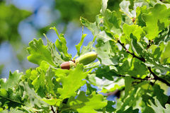 Leaves Of Old Oak Royalty Free Stock Photo
