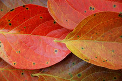 Free Leaves Of Persimmon Royalty Free Stock Image - 7988786