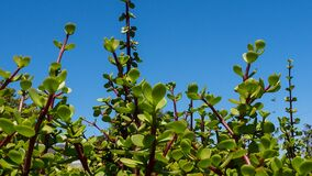 Free Leaves Of The Spekboom Portulacaria Afria Against The Blue Sky Royalty Free Stock Photography - 202497857