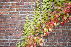 Leaves on old brick wall. Old brick wall with a green plant on it stock photo