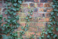 Leaves on old brick wall. Old brick wall with a green plant on it royalty free stock image