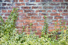 Leaves on old brick wall. Old brick wall with a green plant in front of it royalty free stock photo