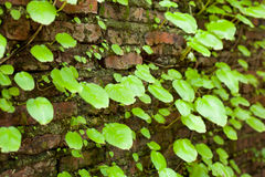 Leaves, and old walls. A refreshing and colorful. The old wall background Stock Image