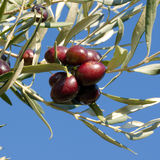 Leaves of olives and bunch of  Stock Photos