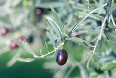 Leaves of olives and a mature fruit on the branch Stock Image