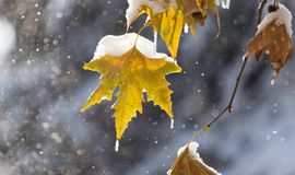 Free Leaves On A Tree In Winter Royalty Free Stock Photography - 105573777
