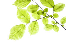 Leaves On White Royalty Free Stock Images