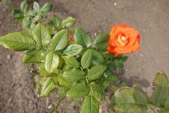 Leaves and orange flower of rose. Leaves and orange flower of garden rose stock image