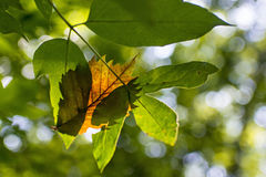 Leaves. Orange leaf between green leaves royalty free stock images