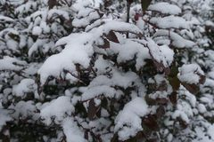 Leaves of Oregon grape covered with snow. Leaves of Oregon grape bush covered with snow Royalty Free Stock Images
