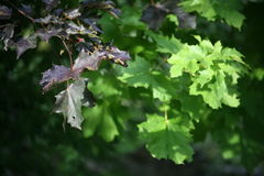The leaves of ornamental maple Royalty Free Stock Photos