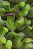the leaves of ornamental shrubs of botulinic stock photo