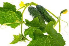 Leaves and ovary cucumber on white background Stock Images