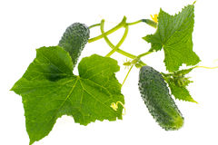 Leaves and ovary cucumber on white background Royalty Free Stock Photo