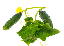 Leaves and ovary cucumber on white background Royalty Free Stock Photography