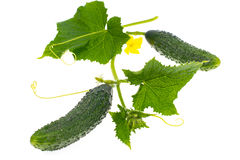 Leaves and ovary cucumber on white background Stock Photo