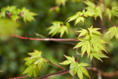 Leaves over blurs. Fresh green maple leaves Acer palmatum wet with rain which over leaf green blurs Royalty Free Stock Photography