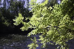 Leaves over the Boise River. A tree branch full of yellow leaves hang over the Boise river royalty free stock photos