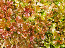 Leaves are over-mature lettuce. Texture stock photography