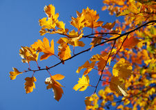Leaves over sky. Colorful and bright autumn leaves over blue sky Stock Image