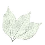 Leaves over white Royalty Free Stock Image