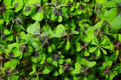 Leaves of the Oxalis Deppei plant stock photos