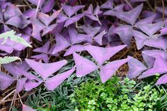 Leaves of oxalis triangularis Stock Photography