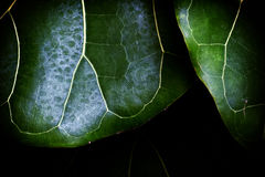 Leaves. A pair of leaves Royalty Free Stock Images