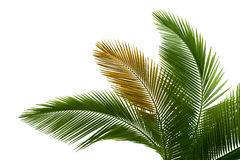 Leaves of palm stock photo