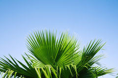 Leaves of palm. Trunk and leaves of palm tree on a background of clear sky Stock Images