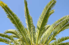 Leaves palm Stock Photography