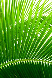 Leaves of palm Royalty Free Stock Image